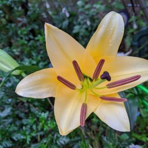 雨上がりの朝 お庭のライトオレンジカサブランカが綺麗に♡