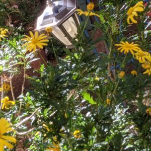 ガーデニングを楽しむ② お正月用のお花を庭植えに!秋の我慢の3連休