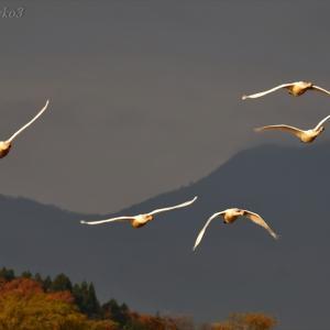 みちのく御所湖白鳥たち5