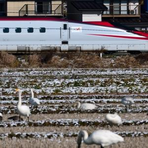 みちのく御所湖白鳥たち14
