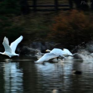 みちのく高松白鳥たち