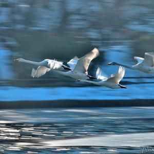 みちのく白鳥たち15