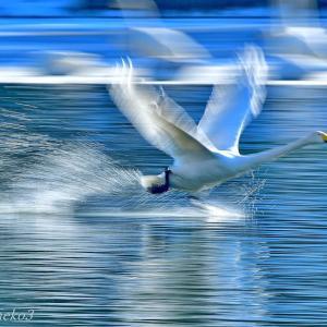みちのく白鳥たち23