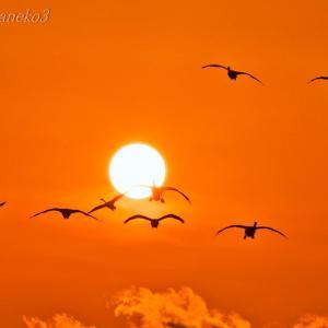 みちのく夕陽に白鳥たち5