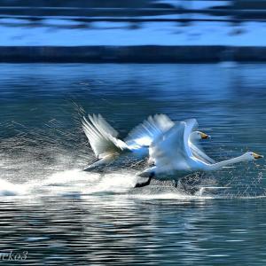 みちのく白鳥たち24