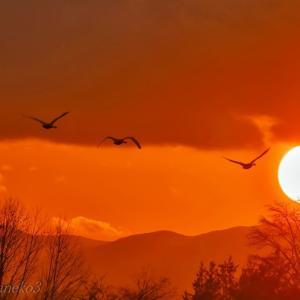 みちのく夕陽に白鳥たち8