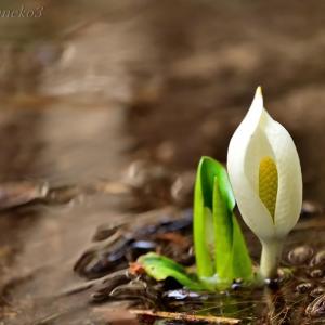 みちのく春の野花4