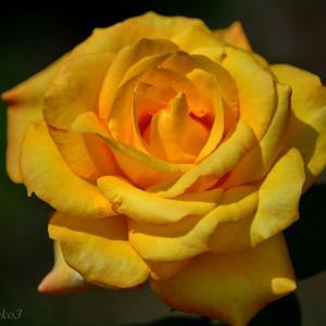 みちのく薔薇3