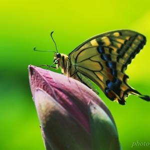 みちのく古代蓮と蝶