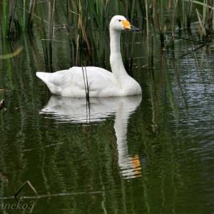 みちのく一羽の白鳥