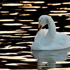 みちのく白鳥たち8