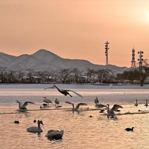 みちのく白鳥たち11