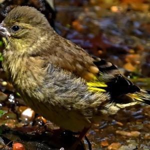 みちのく水浴小鳥12