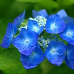 みちのく紫陽花2