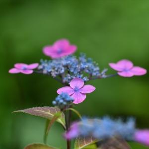 みちのく紫陽花3