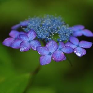 みちのく紫陽花4