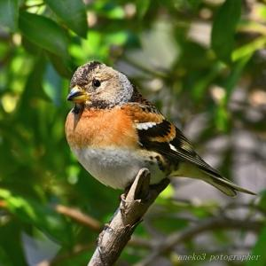 みちのく小鳥たち24