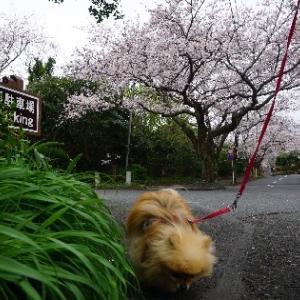 桜を見ていルネ