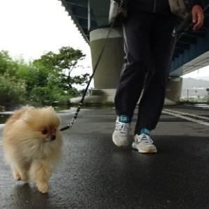雨をよけて散歩すルネ