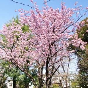中央公園 八重桜や大島桜 ① 八重桜