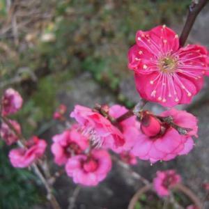 梅の花を愛でて