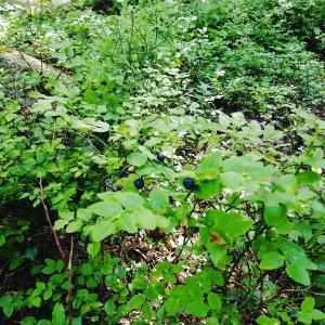 森の中のビルベリー