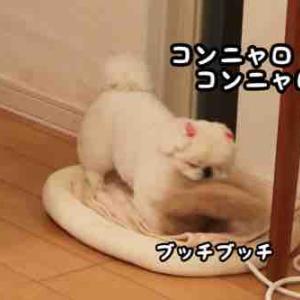 めめたんのファーと猫の便秘治療食