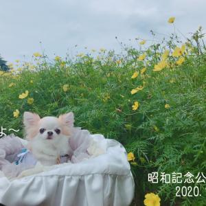 秋のチワワ遠足♪昭和記念公園