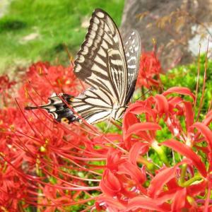 彼岸花に揚羽蝶