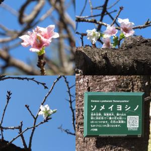 狂い咲き?ソメイヨシノに花が咲いています