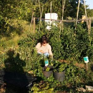 ついにそれっぽくなった青シソと菜園仕事