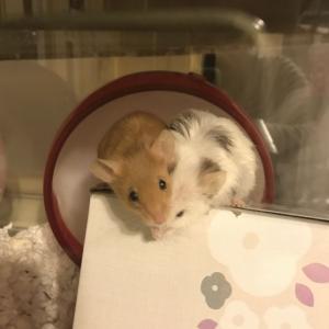 ペレット団子始めました。(マウス)