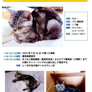 【探しています】迷子猫情報 愛知県豊明市