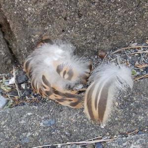 この羽毛はだれのもの?