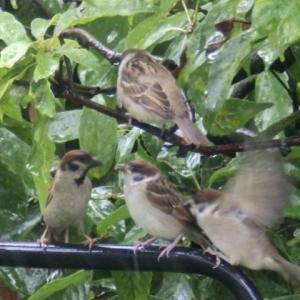 3羽の子雀ヒナリンズ,雨宿り