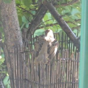 子雀の羽パタパタ動画&燕の雛孵化