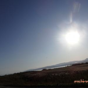 11/10 平田をうろうろ(宍道湖の白鳥) 08