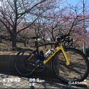 三浦の川津桜