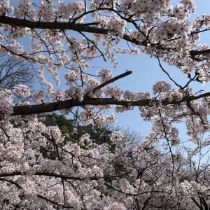 2021春 新潟市の桜