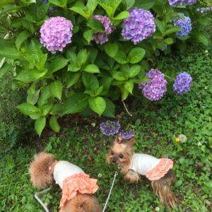 紫陽花さんぽ & あれから一年