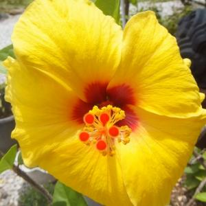 夏の暑さを呼ぶ花、ハイビスカス