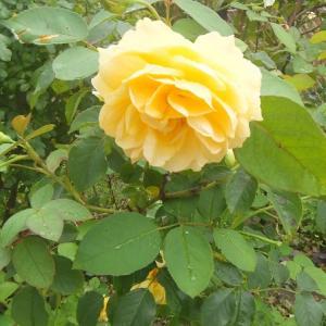 バラの花々は、もう第三波かな