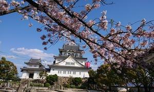 岸和田城の桜見