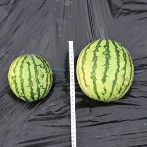 スイカ栽培 15cm大を摘果してしまった 失敗か
