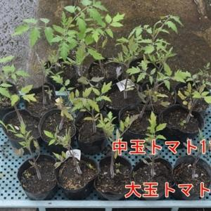 トマトの花芽が付いてない苗を定植するが実は付くだろうか