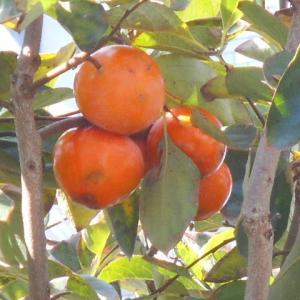 柿の実も熟しました。
