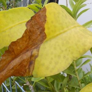 日照りと猛暑で茹であがった月下美人の葉。