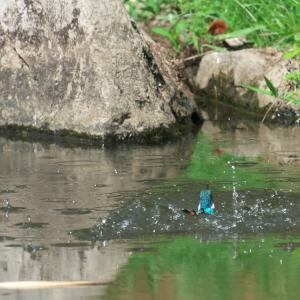 カワセミの離水
