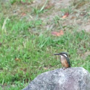 蓮池の野鳥