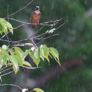 雨のカワセミ